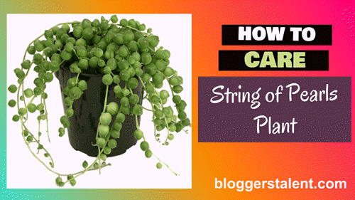 How to care string of pearls plant