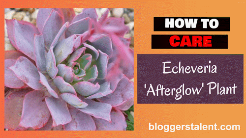 How to care echeveria afterglow plant