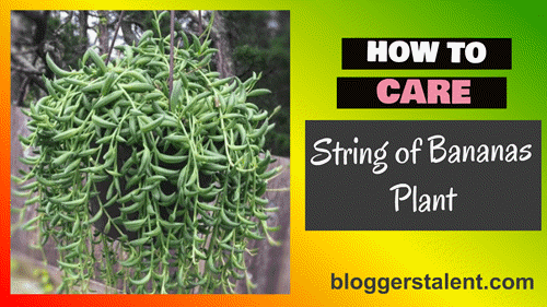 How to care string of bananas plant