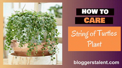 How to care string of turtles plant