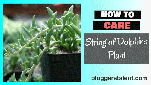 How to care string of dolphins plant